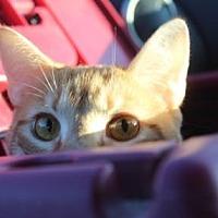 Adopt A Pet :: Tiberius - Louisville, KY
