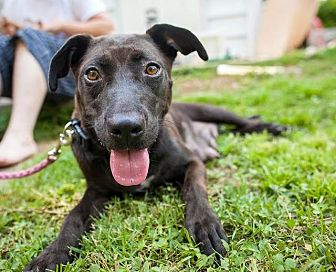 Labrador Retriever/Hound (Unknown Type) Mix Dog for adoption in Raleigh, North Carolina - Piper