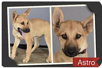 German Shepherd Dog/Husky Mix Dog for adoption in Longview, Texas - Astro