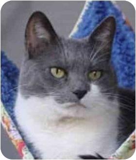 Domestic Shorthair Cat for adoption in El Segundo, California - Holly