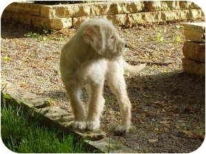 Border Terrier/Labrador Retriever Mix Puppy for adoption in Kansas City, Missouri - Anatacia