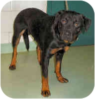 Rottweiler Dog for adoption in Oswego, Illinois - MONA LISA