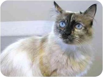 Javanese Cat for adoption in Markham, Ontario - Pheobe