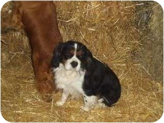 Cavalier King Charles Spaniel/Cavalier King Charles Spaniel Mix Dog for adoption in Carey, Ohio - Dasher