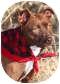 Pit Bull Terrier Mix Dog for adoption in Olathe, Kansas - Mocha
