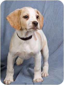 Cocker Spaniel/Rat Terrier Mix Puppy for adoption in Anna, Illinois - JOBETH