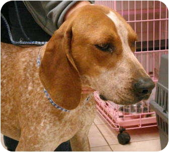 English (Redtick) Coonhound Dog for adoption in Pisgah, Alabama - Clay