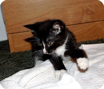 Domestic Mediumhair Kitten for adoption in Nolensville, Tennessee - Cricket