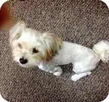 Yorkie, Yorkshire Terrier Mix Dog for adoption in Las Vegas, Nevada - Yorkie Poo