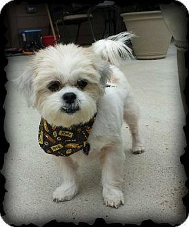 Shih Tzu/Lhasa Apso Mix Dog for adoption in Fort Worth, Texas - IZZABELLE