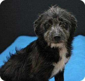 Schnauzer (Miniature) Mix Puppy for adoption in Lufkin, Texas - Macy