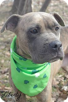 Cane Corso Mix Dog for adoption in Poland, Ohio - LIBERTY // 3 (ADOPTED)
