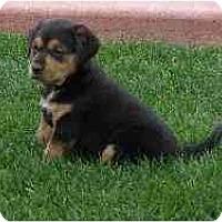 Adopt A Pet :: Georgie Girl - Phoenix, AZ