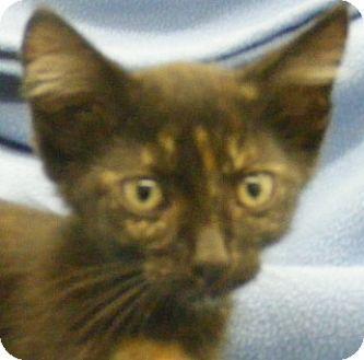 Domestic Shorthair Kitten for adoption in Olive Branch, Mississippi - Ethel