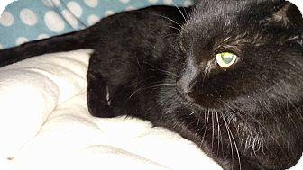 Domestic Shorthair Cat for adoption in Anoka, Minnesota - Applejack