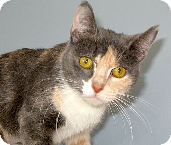 Domestic Shorthair Cat for adoption in Bedford, Virginia - Tinkerbell