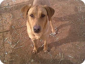 Labrador Retriever Mix Dog for adoption in Las Cruces, New Mexico - Yellow Dog
