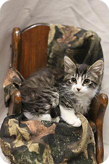 Domestic Longhair Kitten for adoption in Sacramento, California - Wellesley