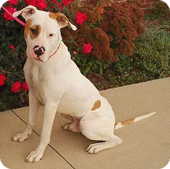 Great Dane/Boxer Mix Dog for adoption in Knoxville, Iowa - Beamer