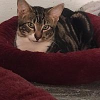 Adopt A Pet :: Chewie - Alpharetta, GA
