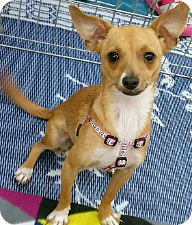 Toy Fox Terrier/Chihuahua Mix Puppy for adoption in Phoenix, Arizona - Lucy Luisa