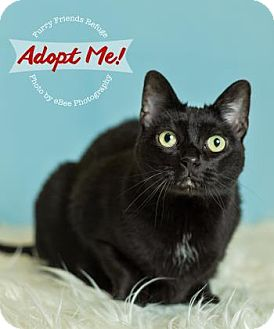 Domestic Shorthair Cat for adoption in West Des Moines, Iowa - Haley
