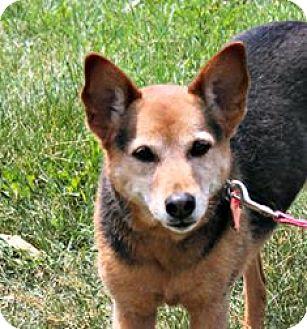 Cattle Dog/German Shepherd Dog Mix Dog for adoption in Lebanon, Connecticut - Shiloh