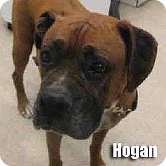Boxer Dog for adoption in Encino, California - Hogan