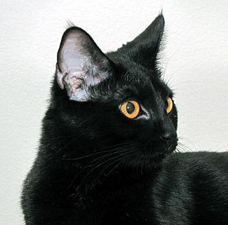 Domestic Shorthair Cat for adoption in Yorba Linda, California - Harlie  (Female)
