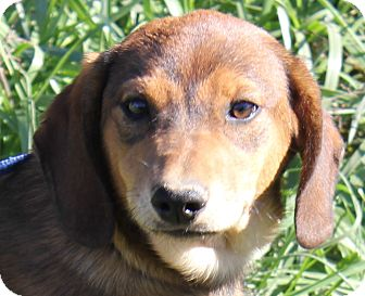 Dachshund/Beagle Mix Puppy for adoption in Colonial Heights, Virginia - Layla