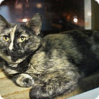 Domestic Shorthair Cat for adoption in West Des Moines, Iowa - Skylark