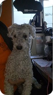 Poodle (Miniature) Dog for adoption in Westminster, California - Harold