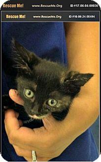 Maine Coon Kitten for adoption in Horseshoe Bay, Texas - Carli