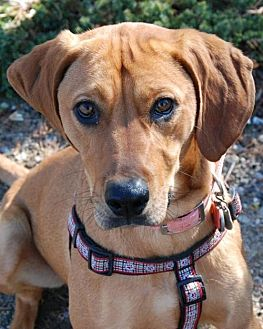 Rhodesian Ridgeback/Redbone Coonhound Mix Dog for adoption in Powder Springs, Georgia - ANNIE (ROWAN)