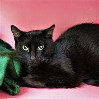 Domestic Shorthair/Domestic Shorthair Mix Cat for adoption in Lynchburg, Virginia - Odine