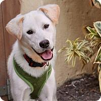 Adopt A Pet :: April Rain - from S. Korea - Los Angeles, CA