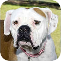 American Bulldog/Boxer Mix Dog for adoption in San Clemente, California - ZELDA = Housetrained & Sweet