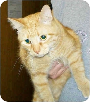 Domestic Shorthair Cat for adoption in Murphysboro, Illinois - Othello