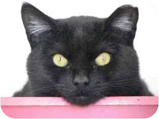 Domestic Shorthair Cat for adoption in Norwalk, Connecticut - Thursday