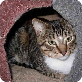 Domestic Shorthair Cat for adoption in San Diego, California - Conner