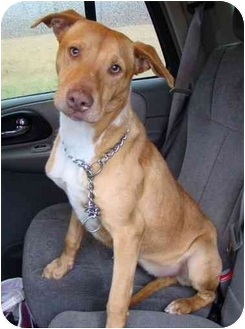 Catahoula Leopard Dog/Pit Bull Terrier Mix Dog for adoption in Haughton, Louisiana - Goldie