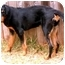 Photo 2 - Rottweiler Dog for adoption in Cedar Creek, Texas - Opal
