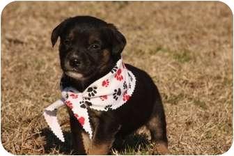 Labrador Retriever Mix Puppy for adoption in Cranford, New Jersey - Luke