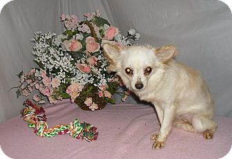 Chihuahua Dog for adoption in Chandlersville, Ohio - Silkey