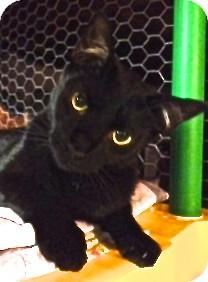 Domestic Shorthair Kitten for adoption in Hyde Park, New York - Oliver