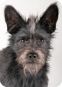 Scottie, Scottish Terrier Mix Dog for adoption in Chicago, Illinois - Walter