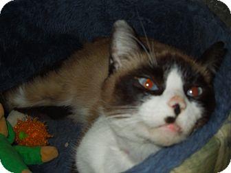Siamese Cat for adoption in Medina, Ohio - S'Mores