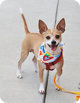 Chihuahua Mix Dog for adoption in White Settlement, Texas - Peter AKA Cooper-adopt pend