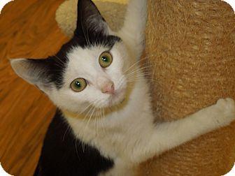 Domestic Shorthair Cat for adoption in Medina, Ohio - Turtle