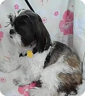 Shih Tzu/Shih Tzu Mix Dog for adoption in Umatilla, Florida - Baby Doll